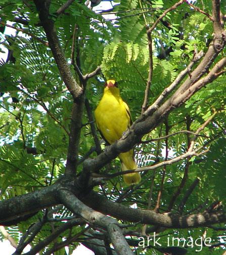 burung-kuning.jpg