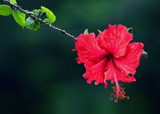 hibiscuslg3.jpg