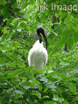 blackwhite-ibis-2.jpg