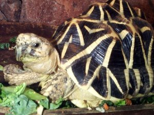 These pretty little Indian Star Tortoise is one of the many endangered species sold as exotic pets in Malaysia