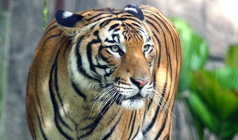 malayan-tiger.jpg